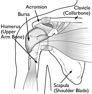 Anatomoy of the Shoulder