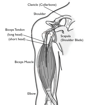 Biceps Normal Anatomy