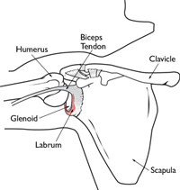 SLAP tear shoulder anatomoy